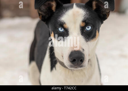 Close up blue-eyed Gray Adult Siberian Husky Dog portrait - Stock Photo