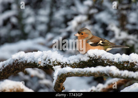 A portrait profile of a male chaffinch sits perched on a snow covered branch - Stock Photo