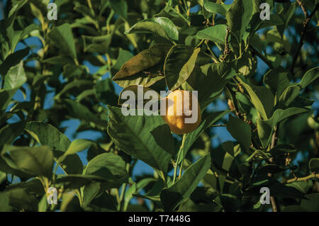Ripe yellow lemons stuck to leafy branch in a sunny day on a small farm near Elvas. A gracious city on the easternmost frontier of Portugal. - Stock Photo