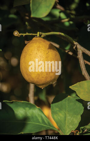 Close-up of a ripe yellow lemon stuck to leafy branch on a small farm near Elvas. A gracious city on the easternmost frontier of Portugal. - Stock Photo