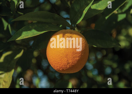 Close-up of a ripe orange stuck to leafy branch in a sunny day, on a small farm near Elvas. A gracious city on the easternmost frontier of Portugal. - Stock Photo