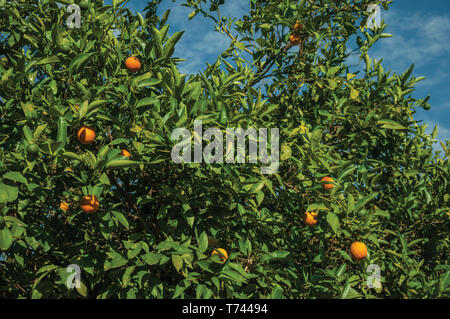 Close-up of ripe oranges stuck to leafy branches in a sunny day, on a small farm near Elvas. A gracious city on the easternmost frontier of Portugal. - Stock Photo