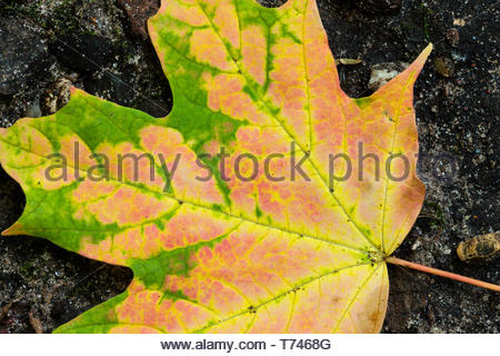 The colors were changing in this maple leaf in early September, now it rests on a boulder within the Pike Lake Unit, Kettle Moraine State Forest, Hart - Stock Photo