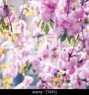 Branches of blooming pink sakura (flowering cherry) in spring - Stock Photo