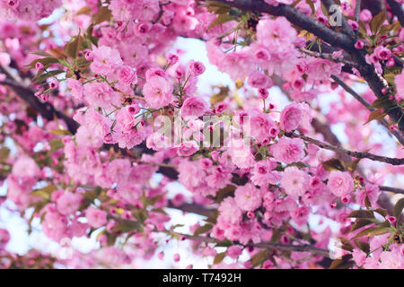 Branches of blooming pink sakura (flowering cherry) on the tree in spring - Stock Photo