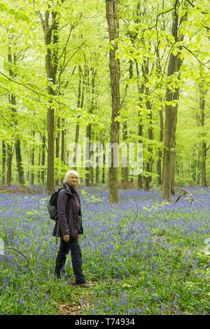 Mature woman walking in beech woodland among Bluebells, Hyacinthoides non-scripta, Sussex, UK, April - Stock Photo