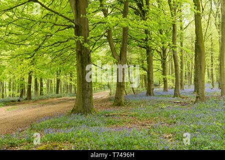 woodland on Angmering Park Estate, trees, Common Beech, Fagus Sylvatica, Bluebells, Hyacinthoides non-scripta, Sussex, UK, April, - Stock Photo