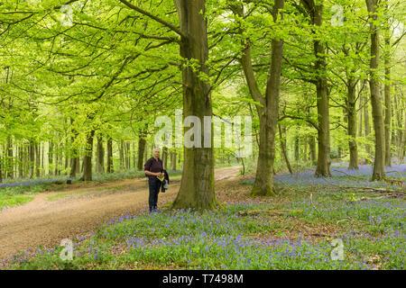 Mature woman walking in beech woodland among Bluebells, Hyacinthoides non-scripta, Angmering Park Estate, Sussex, UK, April - Stock Photo
