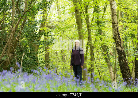 Mature woman walking in woodland among Bluebells, Hyacinthoides non-scripta, Sussex, UK, April - Stock Photo