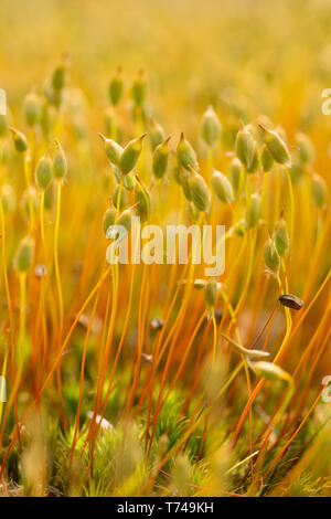 Close-up of moss with seed heads, unknown species on ground in woodland in Sussex, UK, May. - Stock Photo