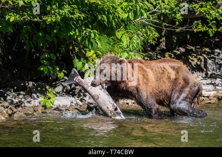 Grizzly bear (Ursus arctos horribilus) carrying fresh caught fish in Taku River; Atlin, British Columbia, Canada - Stock Photo