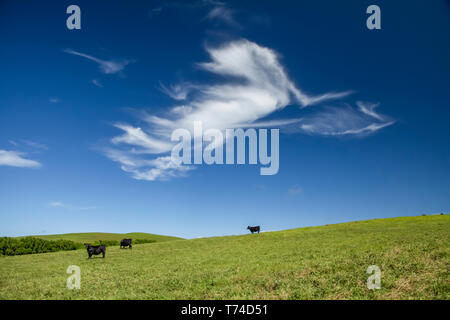Cattle on pasture land at Parker Ranch on Kohala Mountain; Island of Hawaii, Hawaii, United States of America - Stock Photo
