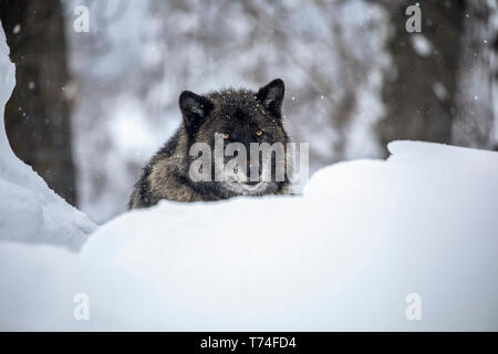 A male Wolf (Canis lupus) rests in the snow and looks at camera, Alaska Wildlife Conservation Center, South-Central Alaska - Stock Photo