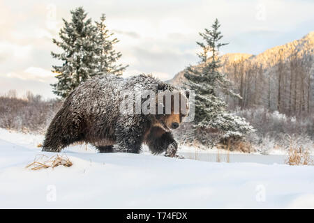 Grizzly bear (Ursus arctic sp.) walking in the snow, Alaska Wildlife Conservation Center, South-central Alaska - Stock Photo