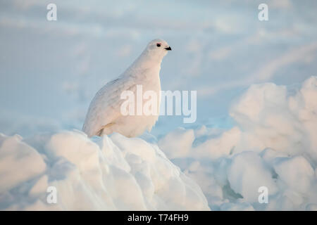 Willow Ptarmigan (Lagopus lagopus) standing in snow and ice with white winter plumage in Arctic Valley, South-central Alaska - Stock Photo