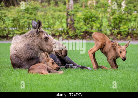 Cow moose (Alces alces) with calves rests on green grass in East Anchorage, Alaska's State mammal, South-central Alaska - Stock Photo