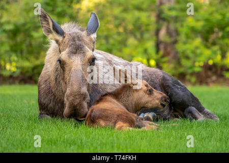 Cow moose (Alces alces) with calf rests on green grass in East Anchorage, Alaska's State mammal, South-central Alaska - Stock Photo