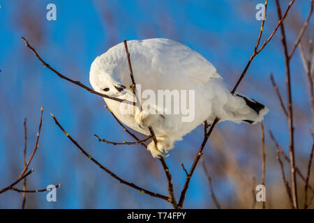 Willow Ptarmigan (Lagopus lagopus) feeding on buds in a tree with white winter plumage, South-central Alaska - Stock Photo