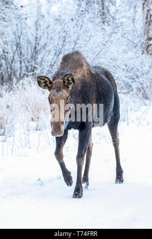 A cow moose (Alces alces) walks along the snowy Arctic Valley Road in winter. She passes right by the photographers car with little concern - Stock Photo