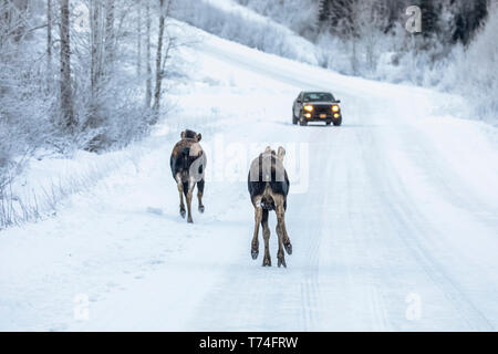 A cow moose (Alces alces) and calf trot along the snowy Arctic Valley Road towards a vehicle in winter, passing by a car with little concern - Stock Photo