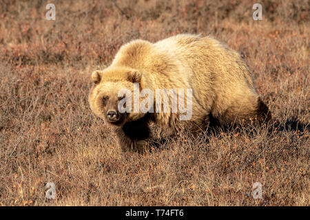 Grizzly bear (Ursus arctos) walking in brown grass looking at the camera, Denali National Park and Preserve, interior Alaska - Stock Photo