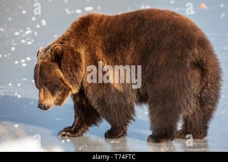 Mature female Grizzly bear (Ursus arctos) walking on ice, captive in Alaska Wildlife Conservation Center, South-central Alaska - Stock Photo