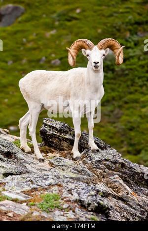 Full curl Dall sheep ram (Ovis dalli) in it's summer coat on a rocky ridge in Denali National Park and Preserve, Interior Alaska - Stock Photo