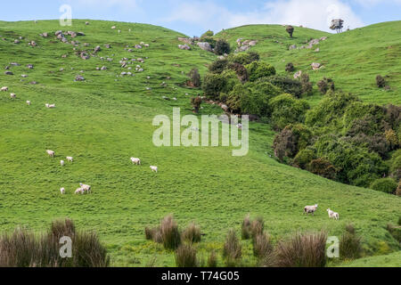Sheep on a green pasture along Papatowai Highway; South Island, New Zealand - Stock Photo