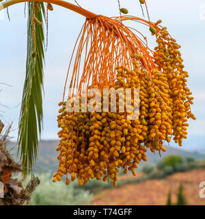 Clusters of dates hanging from a date palm tree (Phoenix dactylifera); Peso da Regua, Vila Real, Portugal - Stock Photo