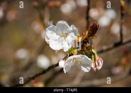 Cherry Blossom (Prunus serrulata) close-up with bokeh background - Stock Photo