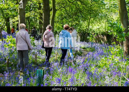 Warton Hall Gardens, Fylde, UK. 4th May, 2017. UK Weather. Sunny spring day, if a little cold, as visitors explore among the fantastic array of spring bluebells. Bluebell woods where this favourite flower is incorporated into formal planting. Warton Hall is a Georgian Manor House set in 4 acres of garden with a beautiful bluebell woodland walk. Once owned by Augustus Wyckham Clifton of the Clifton family of Lytham, Lancashire. Credit: MediaWorldImages/AlamyLiveNews - Stock Photo
