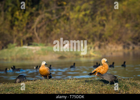A grooming display by the Ruddy shelduck pair at keoladeo national park, bharatpur bird sanctuary, rajasthan, india - Stock Photo