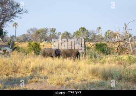 Family of three African bush elephants (Loxodonta africana), Nxabega Concession, Okavango Delta, Kalahari, northern Botswana, southern Africa