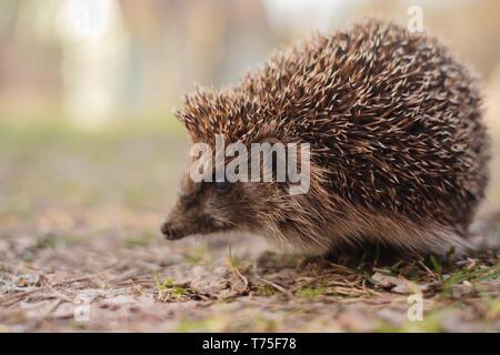 European Hedgehog, Erinaceus europaeus, closeup. Cute funny animal - Stock Photo