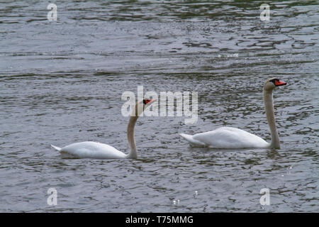 two swans swimming side by side on a lake - Stock Photo