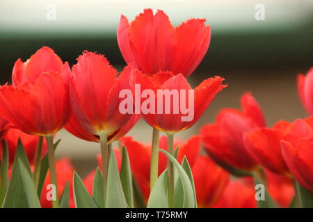 Rote Tulpen in Holland - red tulips in netherland - Stock Photo