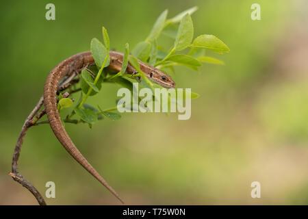 Wildlife photo of The viviparous or common lizard Zootoca vivipara