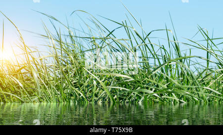 Flowering grass in detail - Allergens - Allergy in Germany - Stock Photo