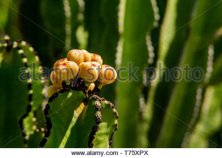 Close-up of prickly pears in growth - Stock Photo