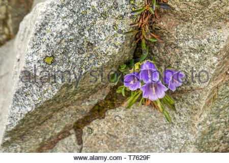 Small pretty purple flower on the stone in the mountains - Stock Photo