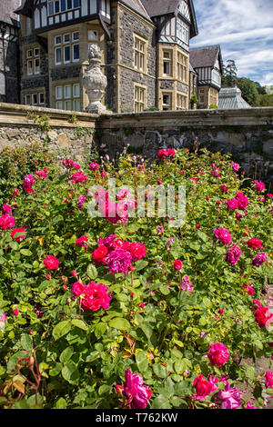 Roses in front of Bodnant Hall at Bodnant Gardens in Wales, UK - Stock Photo