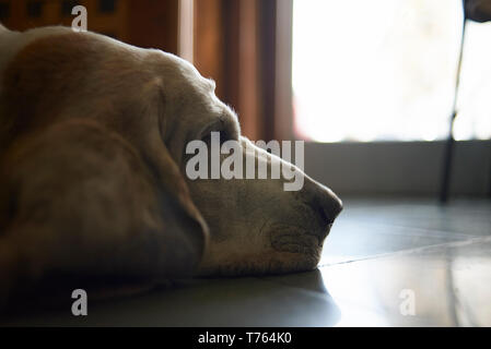 Basset Hound dog peacefully sleeping on a tiled floor - Stock Photo