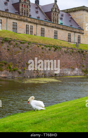 Swan near the protective moat with water around the Kronborg castle. Konborg castle made famous by William Shakespeare in his play about Hamlet situat - Stock Photo