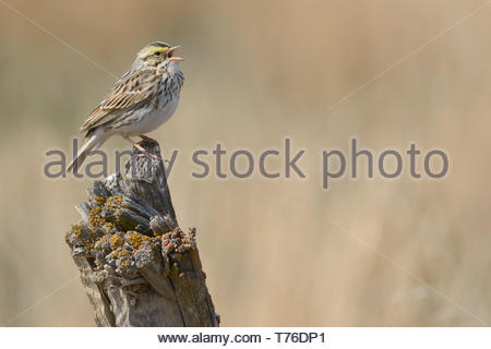 A Savannah Sparrow, Passerculus sandwichensis, singing while perched on an old fence post with lichen on it in a rural setting in Alberta, Canada. - Stock Photo