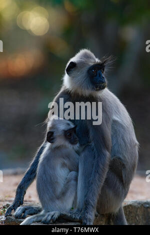 Tufted Grey Langur. Semnopithecus priam. Adult female with juvenile.. Sri Lanka. - Stock Photo