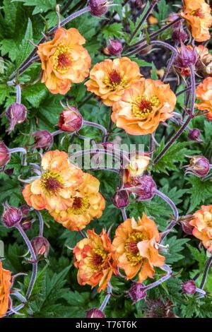 Grecian Rose, Geum  'Alabama Slammer' - Stock Photo