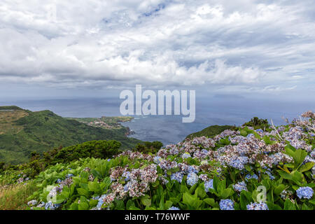 Hydreangea flowers bloom above Ponta Delgada on the island of Flores in the Azores. - Stock Photo
