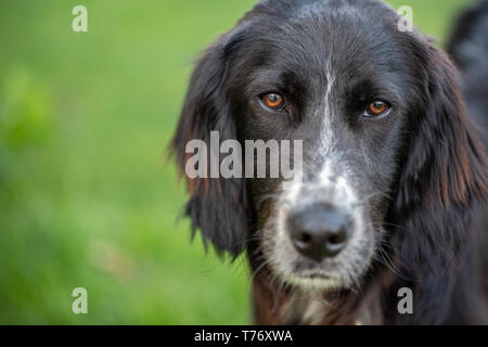 Portrait of a black english setter mix with a white snout looking into the camera. - Stock Photo