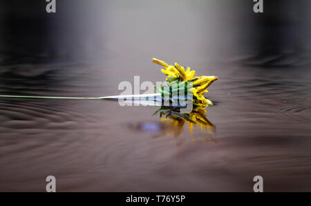 Dandelion reflection in a rainy puddle - Stock Photo