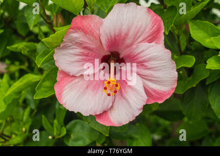 Pink and white, two colors hibiscus flower, with green leaves background - Stock Photo